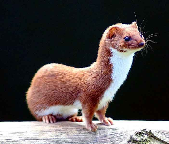 Least weasel pic from Wikipedia courtesy of Kevin Law. Thank you Kevin.