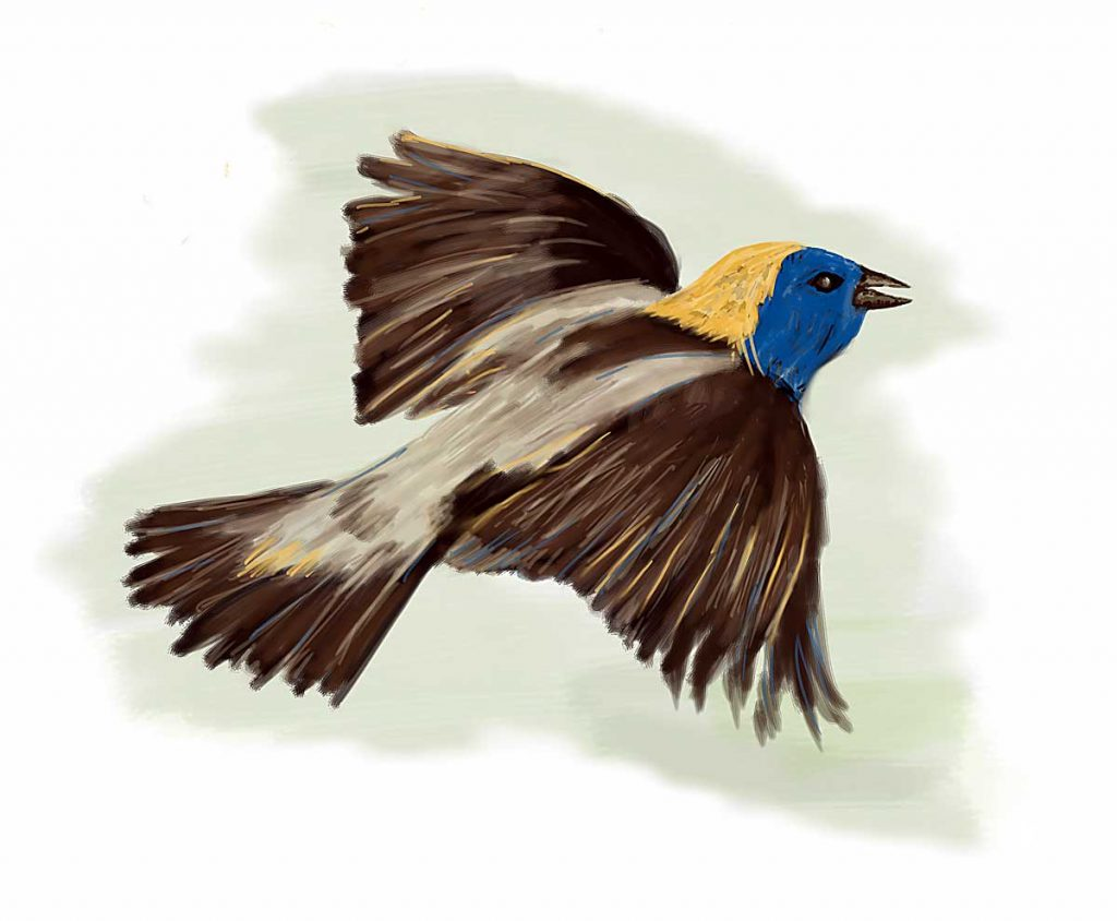 A rather fanciful rendition of a bobolink. The head is yellow and blue. Not as seen!