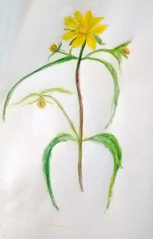 Quick drawing for a marsh marigold.